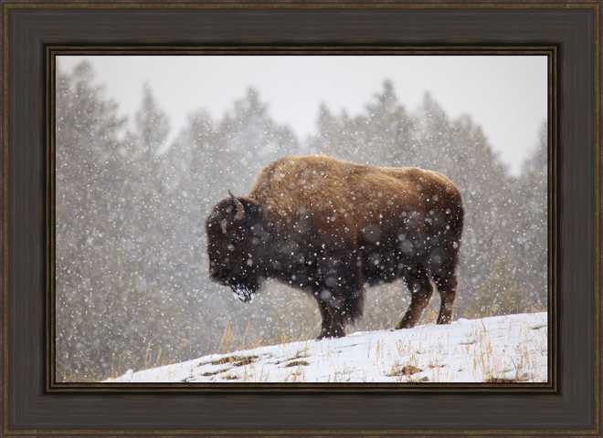 Bison in Snow by Jason Savage
