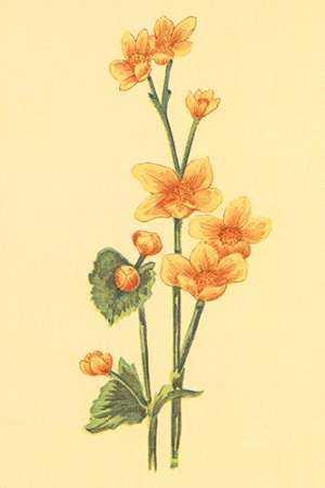 Calthra Palustris
