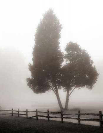 Cedar Tree and Fence