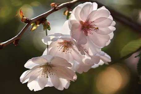 Cherry Blossom Illumination