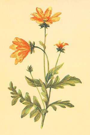 Engelmannia