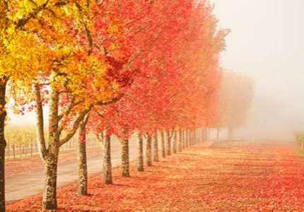 Fall Trees in the Mist