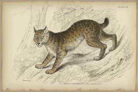 Felis Canadenis Lynx