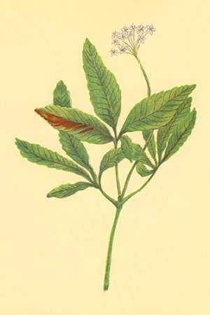 Five Leaved Ginseng