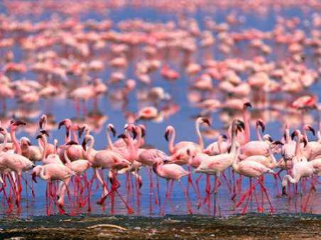 Flamingoes in shallow Lake