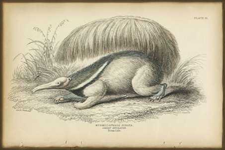 Great Anteater