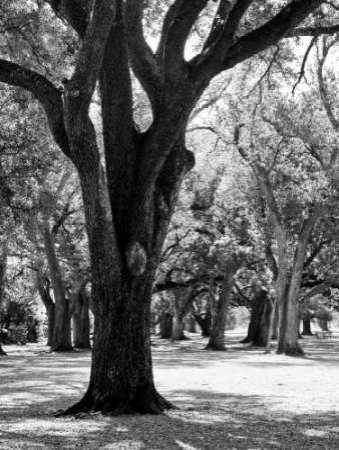 Oak Tree Study