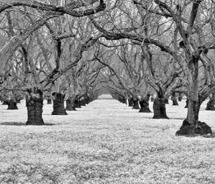 Old Walnut Orchard