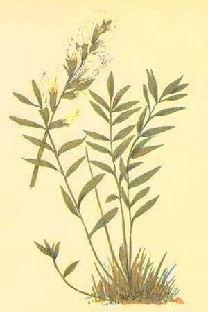 Oxytropis Lamberti