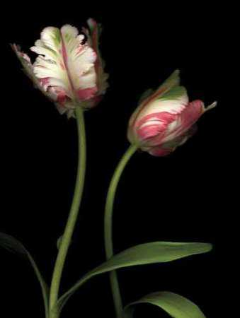 Parrot Tulips I