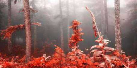 Red forest 809