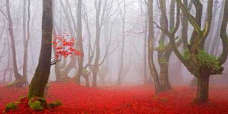 Red forest leaves 828