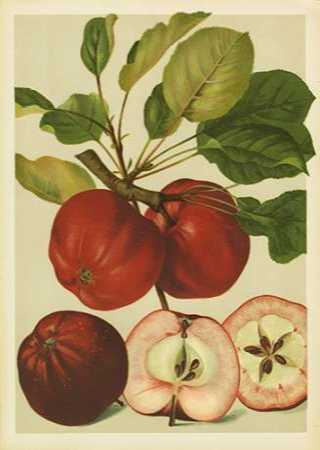 Red Veli Apples II