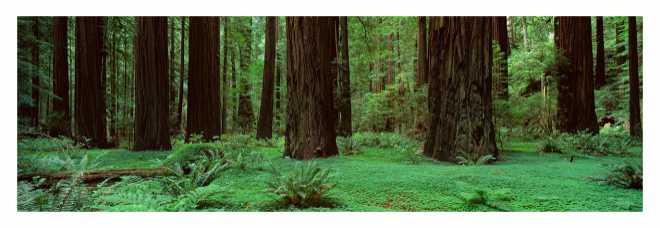 Redwoods Rolph Grove