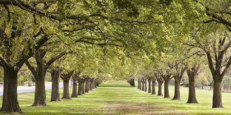 Rows of trees bordering greensward