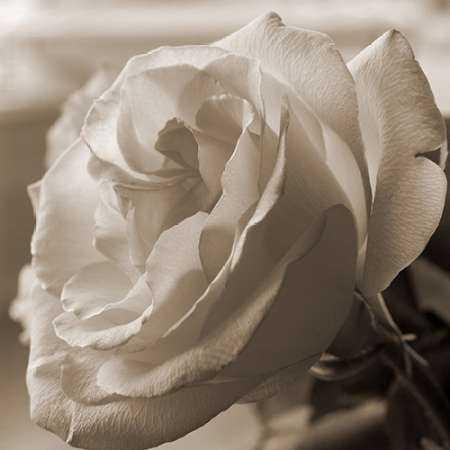 Sepia Rose 1