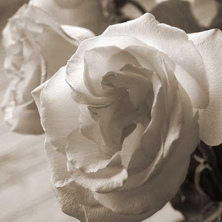 Sepia Rose 2