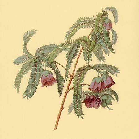 Spaendoncea Tamarandifolia