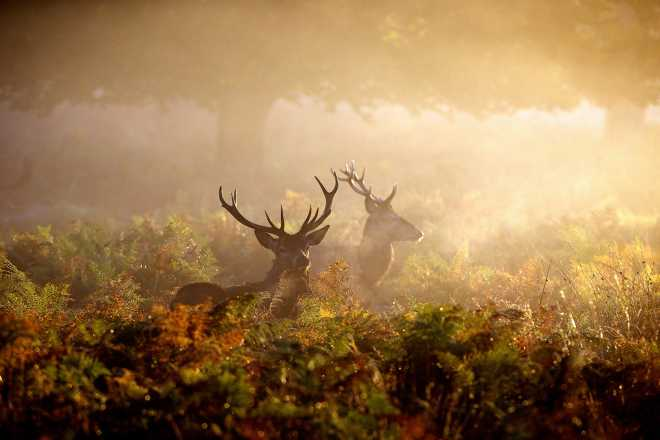 Two Stags at Dawn by Mark Bridger