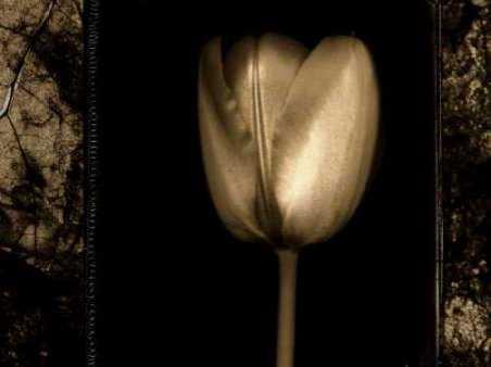 White Tulipa II