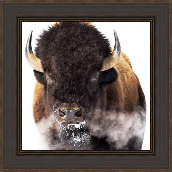 Yellowstone Bison by Jason Savage