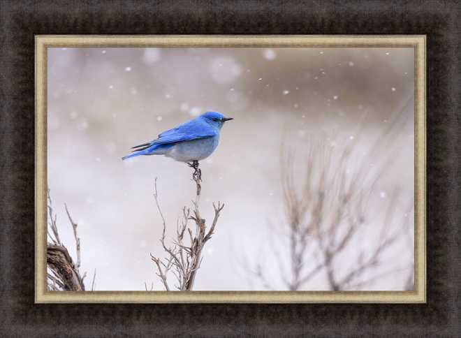 Yellowstone Bluebird by Jason Savage