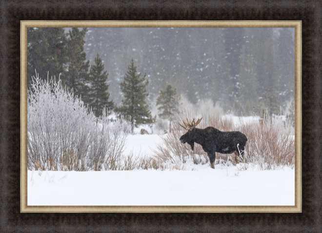 Yellowstone Moose by Jason Savage