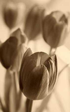 Illuminated Tulips 1